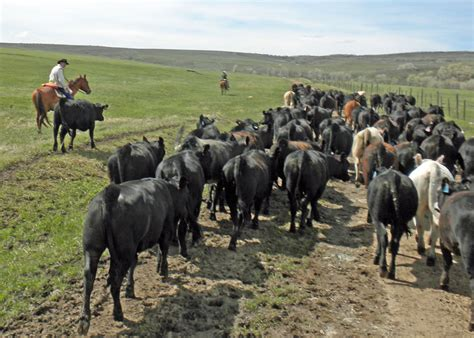 how to a working for cattle horseback cattle focus ranch a real working cattle ranch in slater colorado