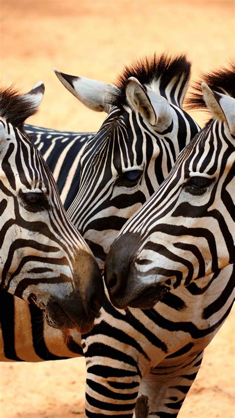 wallpaper zebra couple cute animals animals