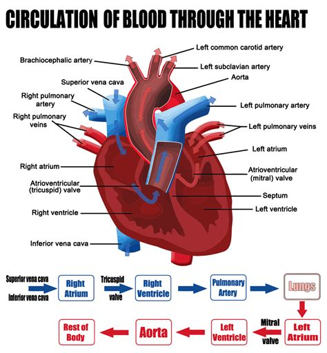 pattern of heart blood flow the circulation of blood diagram worksheets the free