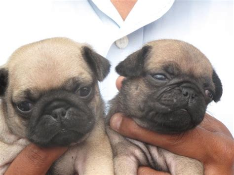 pug puppies price in mumbai pug puppies for sale rajivpandit 1 13900 dogs for sale price of puppies dogspot in