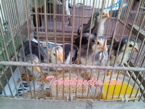Bibit Anak Ayam Negeri pemberian pakan ikan lele yang disertai obat penambah nafsu makan ternakpedia