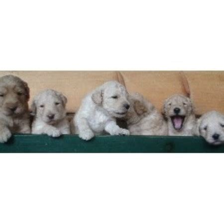 goldendoodle puppy new jersey cha cha doodles goldendoodle breeder in columbia new jersey