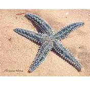 Nombre Estrella De Mar Com&250n
