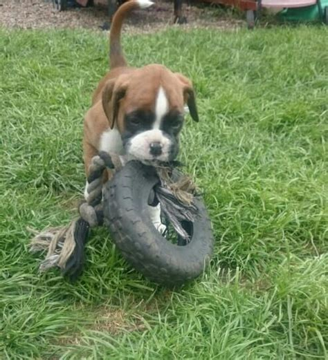 boxer puppies for sale in pa parkesburg pa pictures posters news and on your pursuit hobbies interests