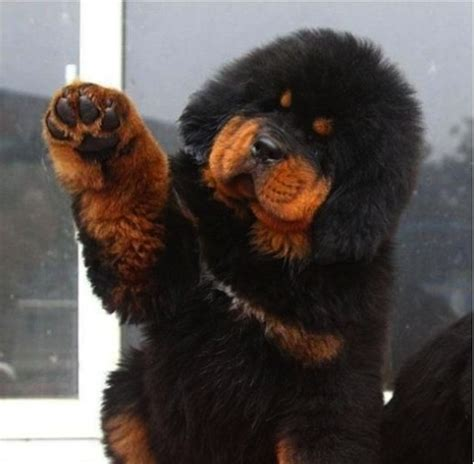 expensive dogs worlds most expensive tibetan mastiff the superherohype forums