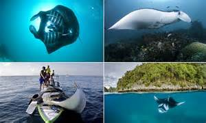 indonesia declares   worlds largest manta ray