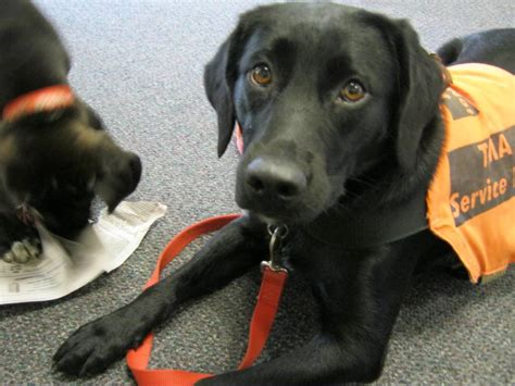 service dogs ma types of service dogs therapeutic alert service dogs