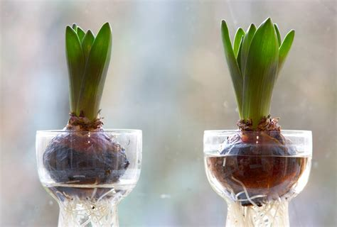 forcing tulip bulbs diy force flower bulbs and seeds to beat the winter blues