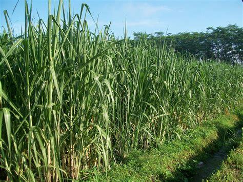 Bibit Tebu cara menanam budidaya tebu untuk bibit pertanian