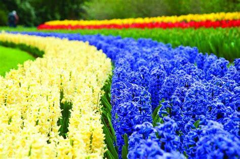 ci di fiori olanda di fiore in fiore attraverso i paesi bassi viaggi in
