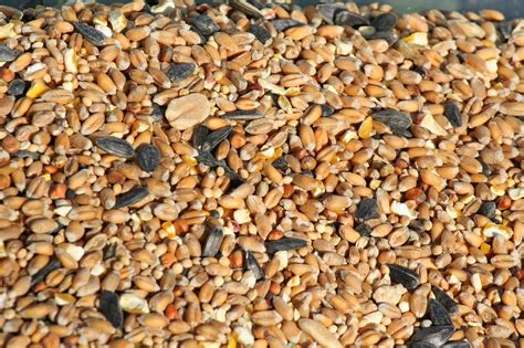 crows in indiana back yard birding