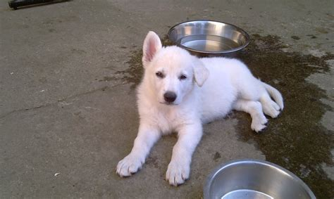white swiss shepherd puppies for sale puppies for sale atakama white swiss shepherd