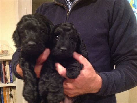 black cockapoo puppies stunning black cockapoo puppies dartmouth pets4homes