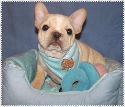 bulldog puppies maine bulldog puppy breeders maine