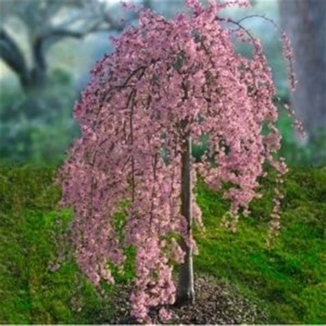 cherry blossom tree zone 9 best 25 weeping cherry tree ideas on weeping trees definition and