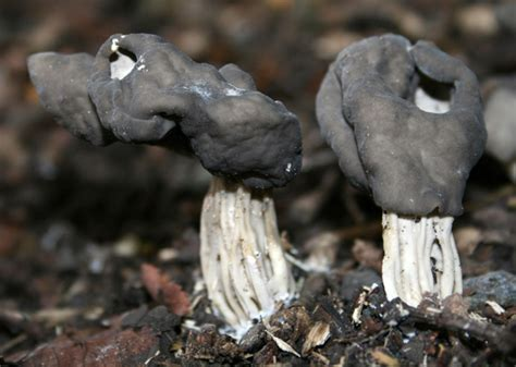 are mushrooms poisonous to dogs 5 common mushrooms poisonous to dogs and other pets slideshow