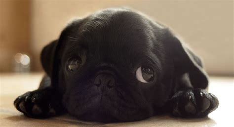 black pug puppie 12 reasons why you should never own pugs