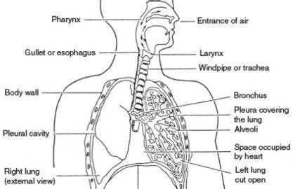 Diagram Respiratory Tract Of Earthworm Human Anatomy Picture Respiratory System Diagram
