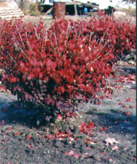 why your burning bush won t turn red