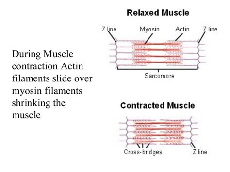 section 36 2 the muscular system human body overview