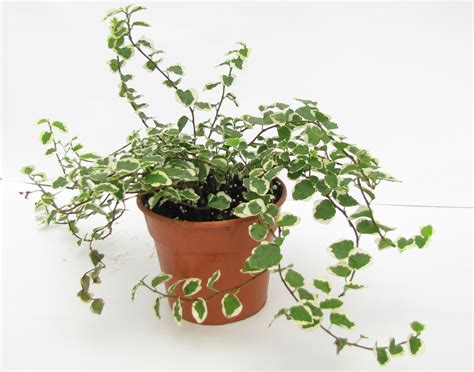 houseplant vine buy ficus pumila variegata plant online at best prices in