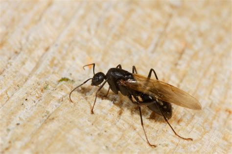 Flying Ants In House by How To Tell The Difference Between Ants And Termites