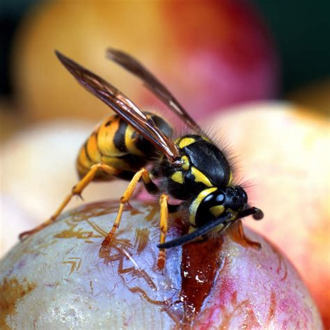 wasp stings first aid and how to avoid them