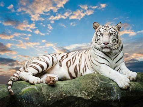 Tiger White some tigers are white knowitallfacts