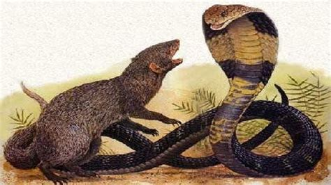 mongoose vs cobra snake mongoose fighting king cobra www pixshark com images