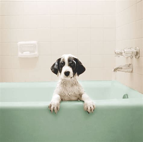 what is dogs in a bathtub jeffrey welch s blog got dogs these vacuuming tips will