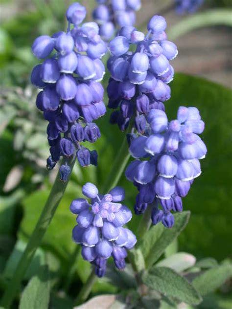 blue flower bulbs small blue bulbs broadleigh gardens