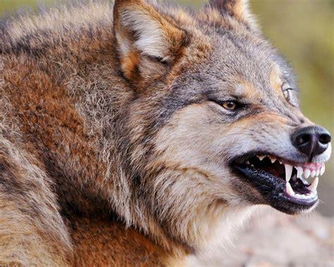 野生のオオカミ-動物の壁紙プレビュー | 10wallpaper.com A 10 Warthog Pictures 1280 X 1024