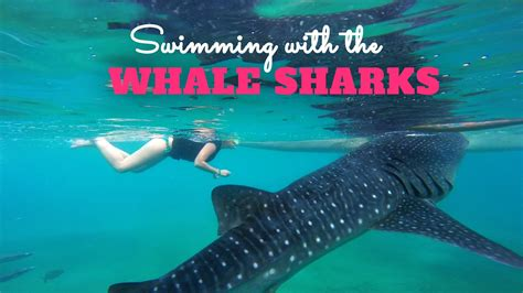 baby shark youtube philippines snorkeling with whale sharks in oslob philippines gopro