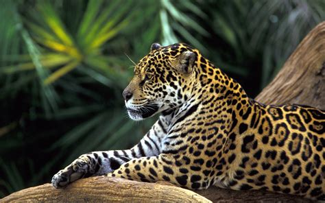 Jaguar In Forest Rainforest Images Jaguar Wallpaper Hd Wallpaper And
