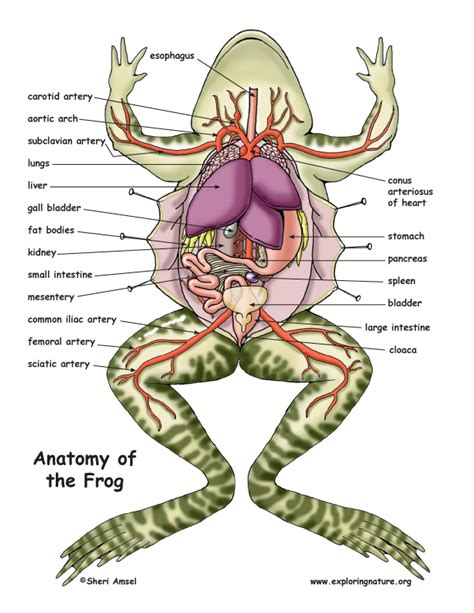 diagram of dissected frog frog dissection clipart clipartxtras