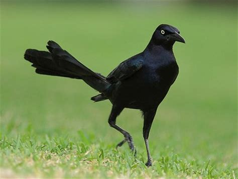 great tailed grackle identification all about birds