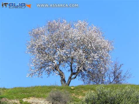 mandorli in fiore mandorlo in fiore natura piante ed animali