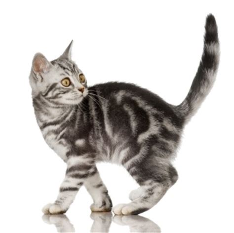 Do American Shorthair Cats Shed A Lot by Shedding And Coat Color In American Shorthair Cats