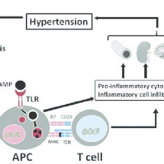 hypothesis of immune system activation in hypertension