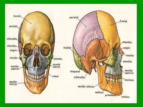 de la cabeza a huesos de la cabeza