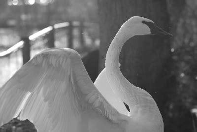 november swans by joe beine