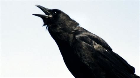 A Murder Of Crows nature a murder of crows cities pbs