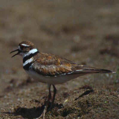 birds of iowa charadriidae