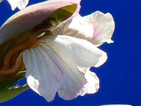 acanto fiore acanto acanthus