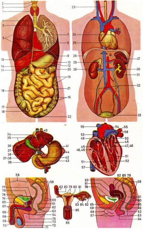 diagram of human organs in the location of human organs diagram human anatomy diagram