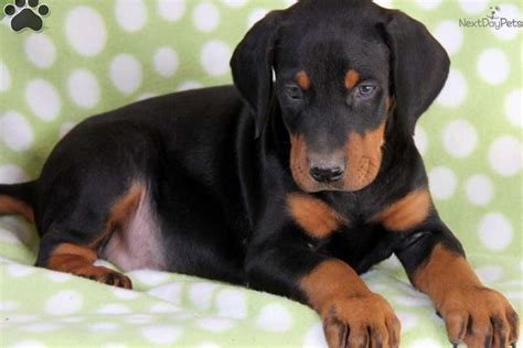 doberman puppies 1000 images about my on dobermans doberman pinscher and