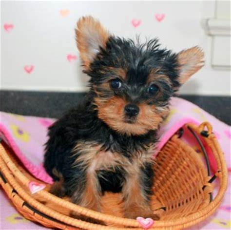 teacup yorkies for adoption in nc pets nc free classified ads