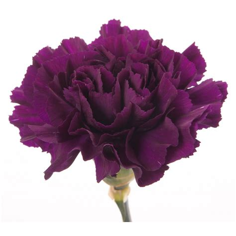 types of purple deep purple carnations carnations types of flowers