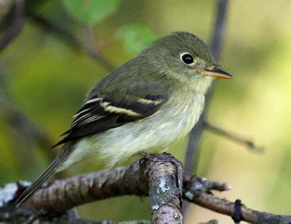 yellow bellied flycatcher, identification, all about birds