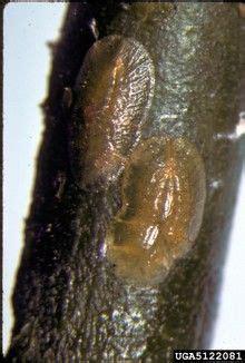 lemon tree common pests  diseases  images